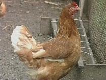 Запрет на ввоз курятины с 19 птицефабрик США вступил в силу - Новости таможни - TKS.RU