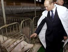 Российские свиньи не захватят Китай