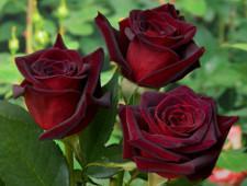 Более 1000 кенийских роз уничтожат в Санкт-Петербурге - Криминал