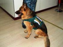 В 1 квартале 2018 года служебные собаки Читинской таможни обнаружили сильнодействующие вещества, дериваты животных, сигареты, боеприпасы - Криминал