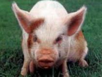Россия сохранит запрет на ввоз свинины до полного выяснения условий распространения вируса  - Новости таможни - TKS.RU
