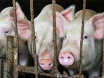 Российский запрет на импорт свинины признан дискриминирующим