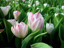 Россияне рискуют остаться без цветов на 8 марта - Новости таможни - TKS.RU