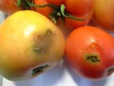 Зараженные македонские томаты возвращены отправителю