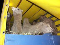 Разрешен провоз калмыцких верблюдов в Болгарию через Украину - Новости таможни - TKS.RU