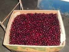 Пресечен ввоз более 400 кг вишни из Украины