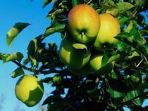 Молдавские яблоки весили вдвое больше заявленного - Кримимнал - TKS.RU