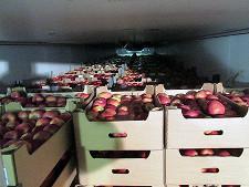 В Брянской области уничтожили «санкционные» яблоки - Кримимнал - TKS.RU