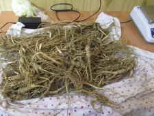 Биробиджанская таможня возбудила уголовное дело по факту незаконного вывоза дикорастущего женьшеня - Криминал